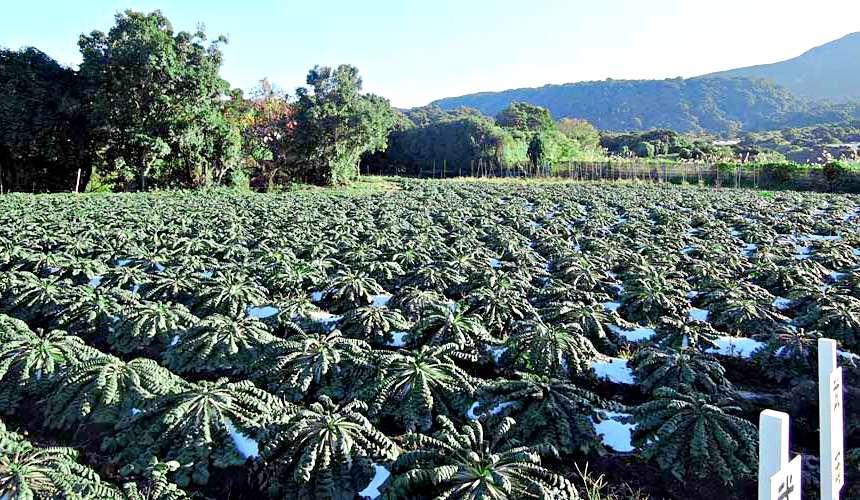 日本鹿兒島體驗親手拔取世界最重蘿蔔