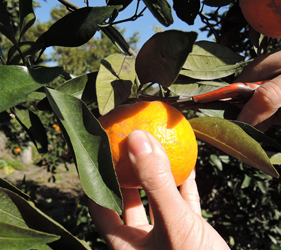 日本鹿兒島行程櫻島採蜜橘體驗