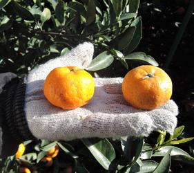 日本鹿兒島行程櫻島世界最小蜜橘