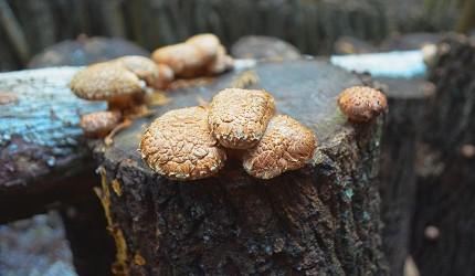 龍門水庫採香菇體驗