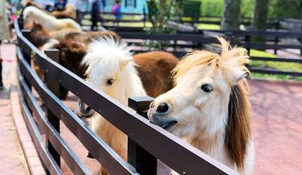 九州自然動物公園裡的迷你馬餵食體驗