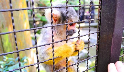 九州自然動物公園裡的松鼠猴