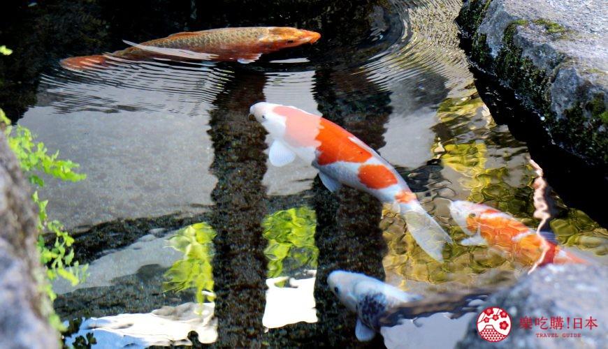 日本九州自由行推薦長崎島原、雲仙的新町的鯉魚街的鯉魚