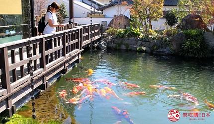 日本九州自由行推薦長崎島原、雲仙的新町的鯉魚街的清流亭可以餵鯉魚